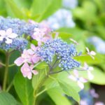 紫陽花の鉢植えは室内だと枯れる?鉢植えの育て方や置き場所は?
