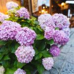 紫陽花の鉢植えの植え替え時期はいつ?地植えの深さや手入れのコツ